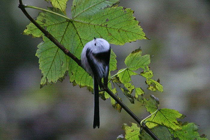 Northern Long-tailed Tit
