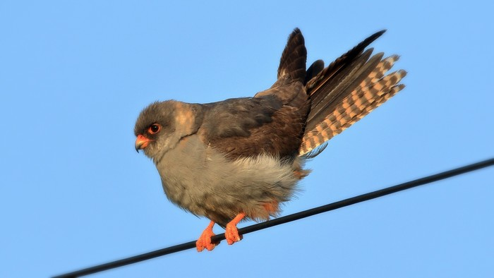 Red-footed Falcon