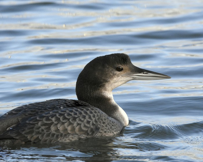 Great Northern Diver