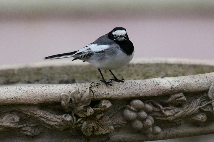 Masked Wagtail