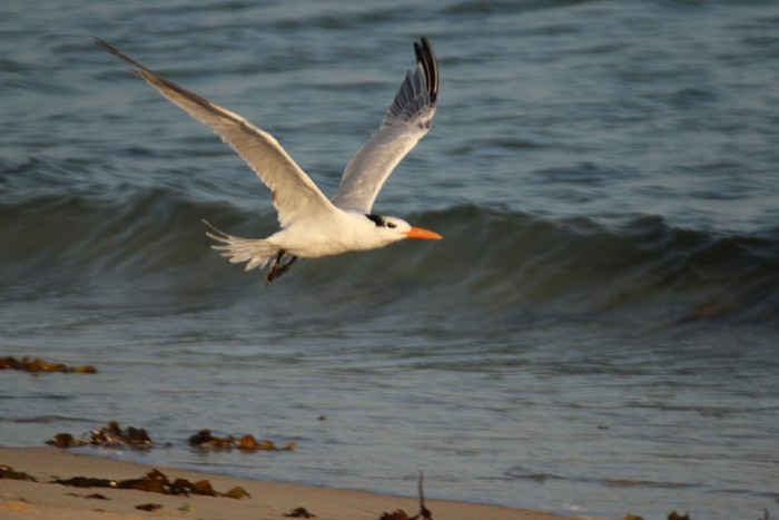 American Royal Tern