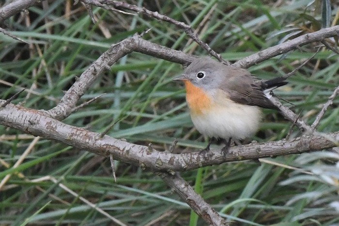 Red-breasted Flycatcher