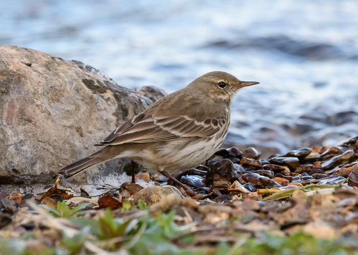 Water Pipit