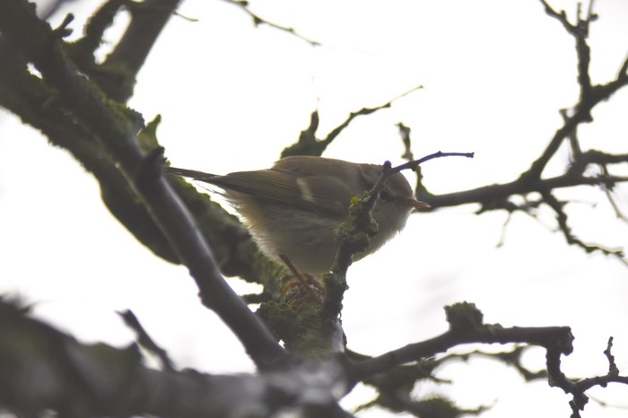 Hume's Warbler