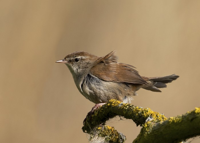 Cetti's Warbler
