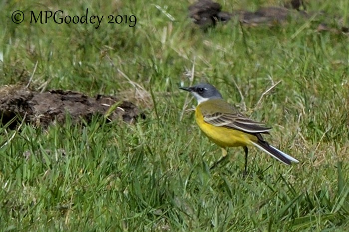 Ashy-headed Wagtail