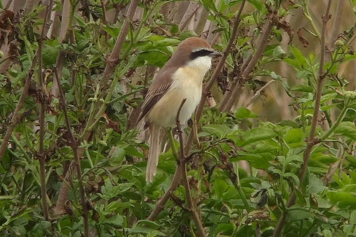 Brown Shrike