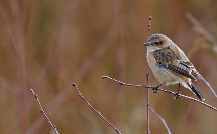 West Siberian Stonechat
