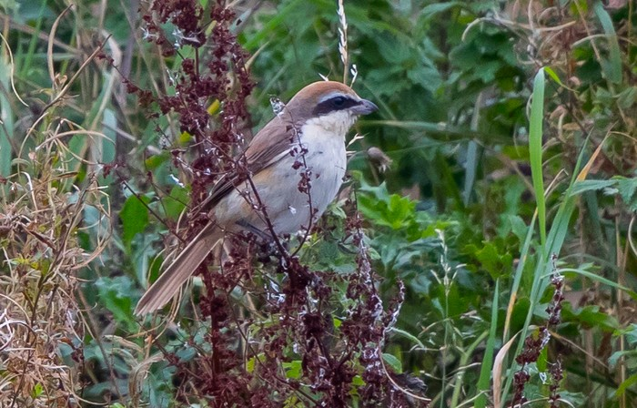 Northern Brown Shrike